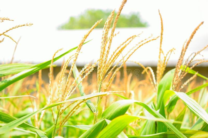 麦地绿色 免版税库存照片