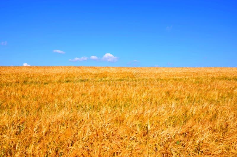 麦地 库存图片