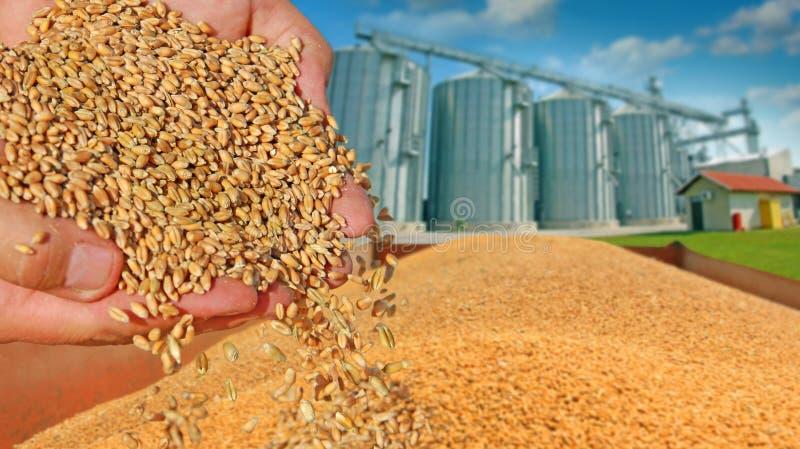 麦子五谷在手上 图库摄影