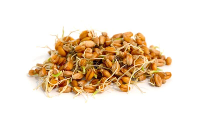 麦子发芽的五谷。 免版税库存图片