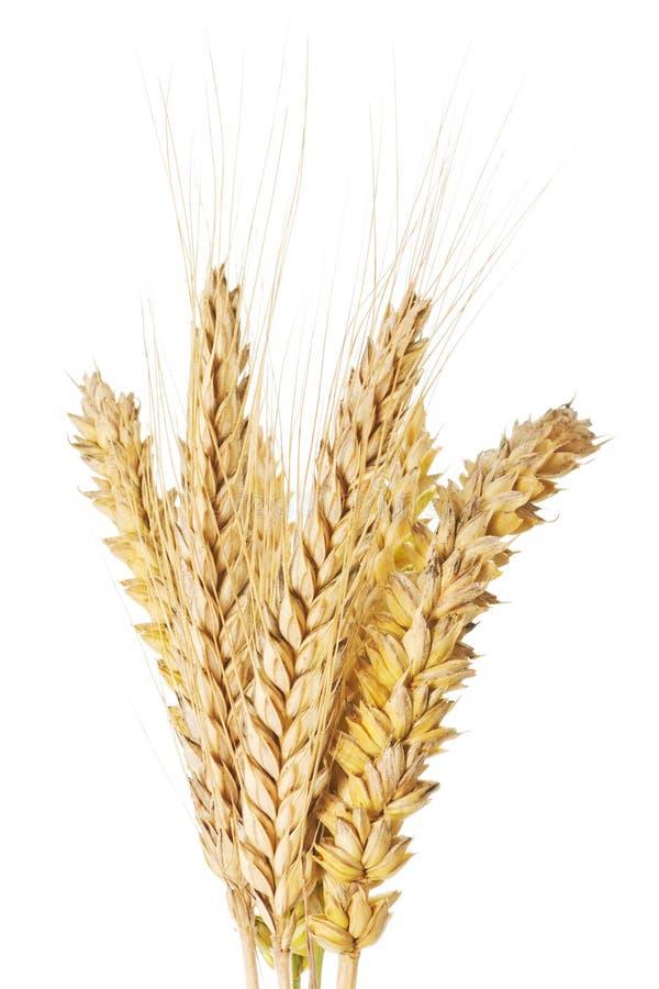 麦子和大麦耳朵 免版税库存图片