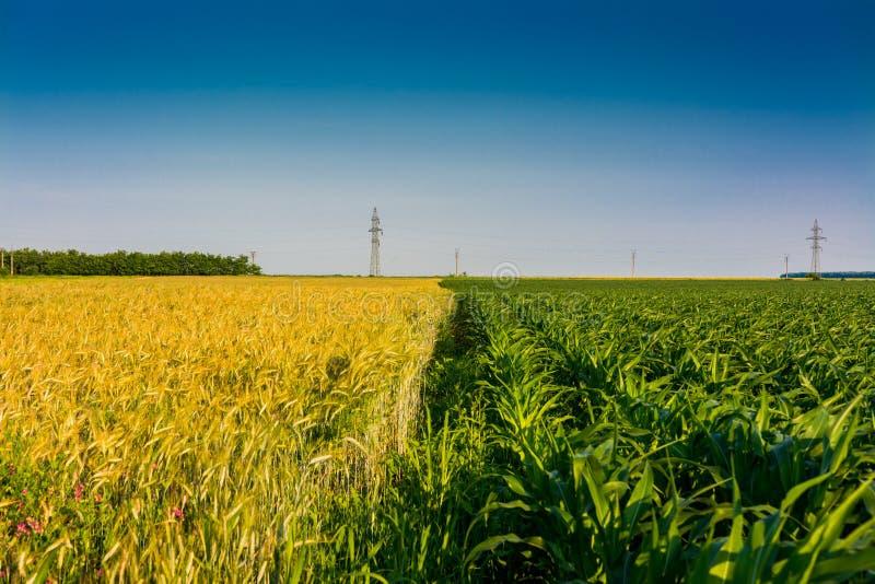 麦子和玉米 免版税库存照片