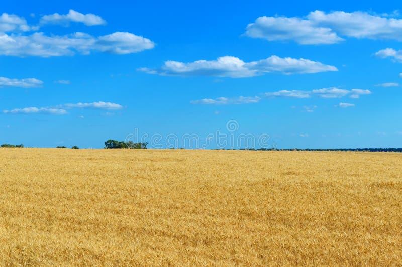 麦子和蓝天的小尖峰的一个宽黄色领域在它上 晴朗的天气 概念:和平和繁荣 图库摄影