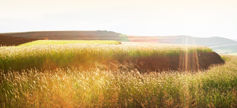 麦子在冬天黄昏的柔和大阳台领域,太阳光芒在领域,农村场面发光下来在云南,中国 库存照片