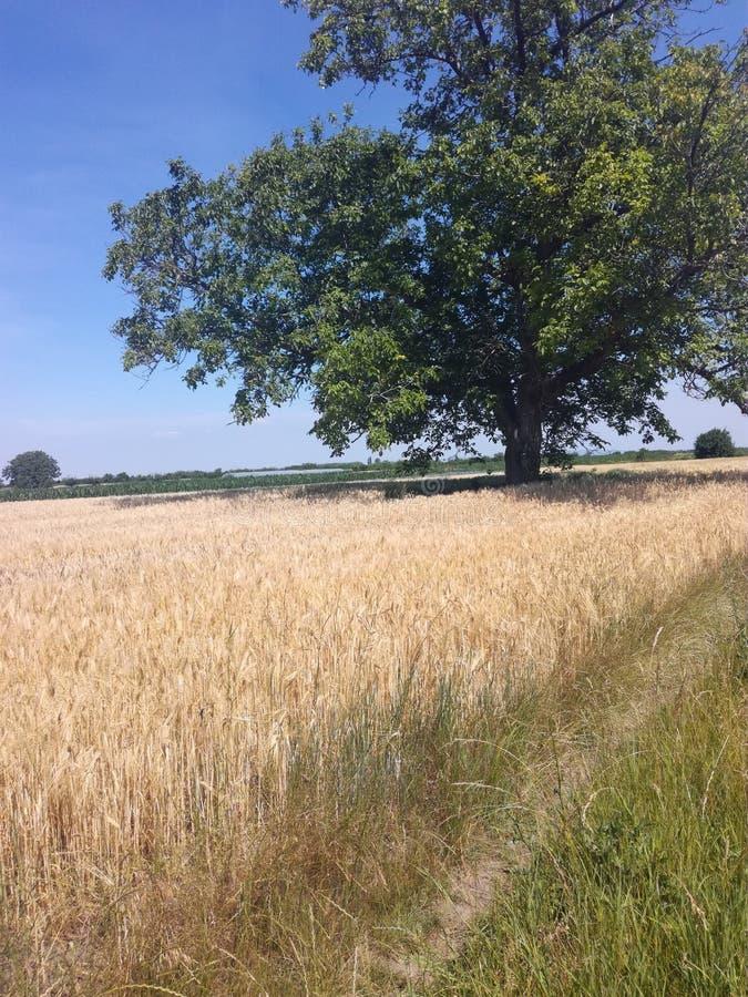 麦子在庭院里 免版税图库摄影