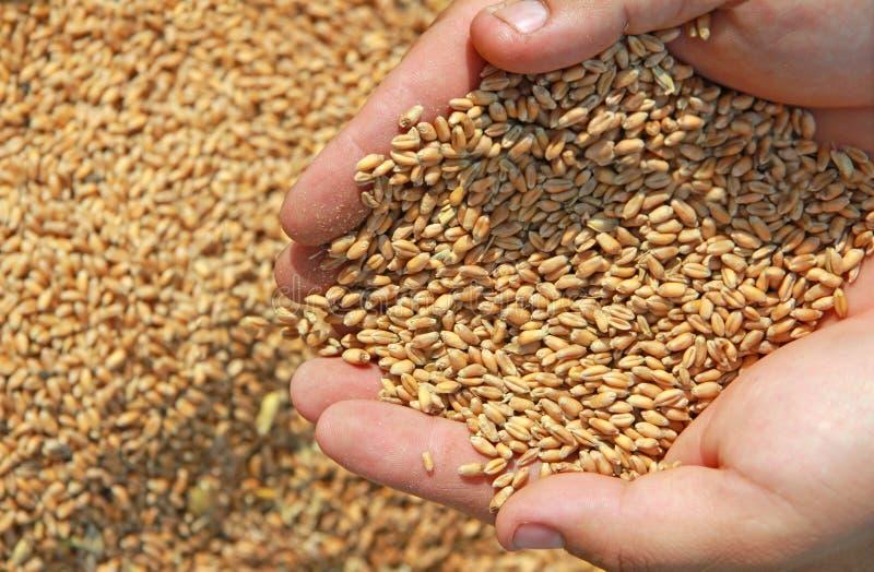 麦子在手上 免版税库存照片