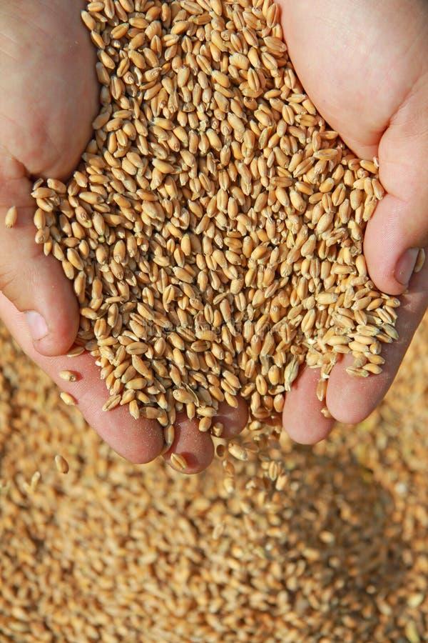 麦子在手上 免版税库存图片