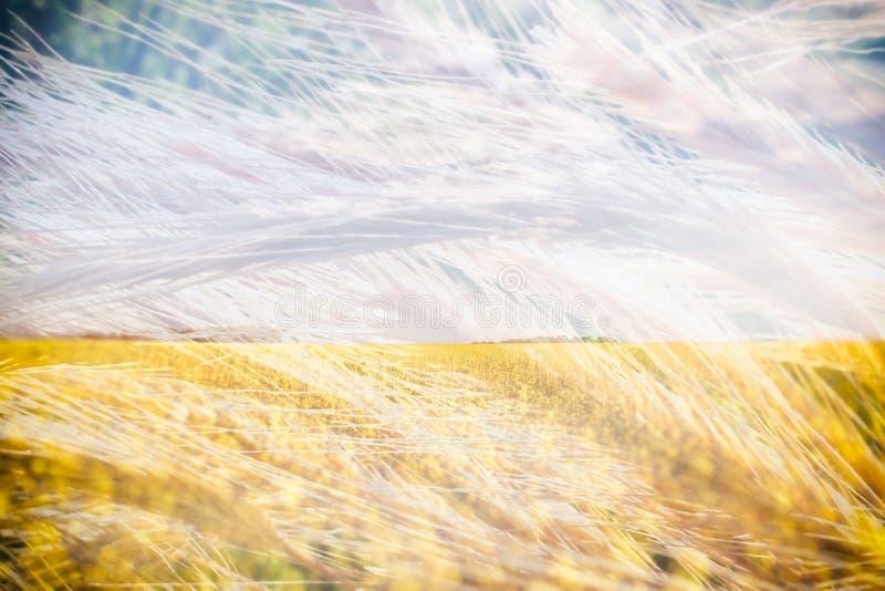 麦子小尖峰 收获开花的荞麦领域 黄色野花 自然,领域,农业,农厂生活 两次曝光 免版税库存图片