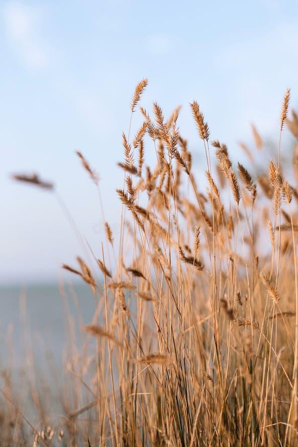 麦子小尖峰 免版税库存照片