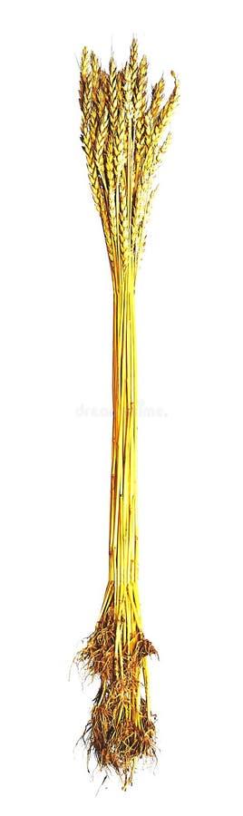 麦子小麦属植物Zymoyarka捆谷粒 免版税库存照片