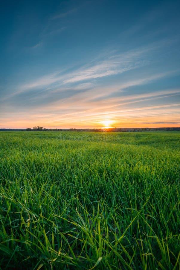 麦子年轻春天绿色新芽风景在下领域的 免版税库存照片