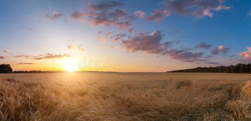 麦子庄稼领域日落夏天风景  ?? 免版税库存图片