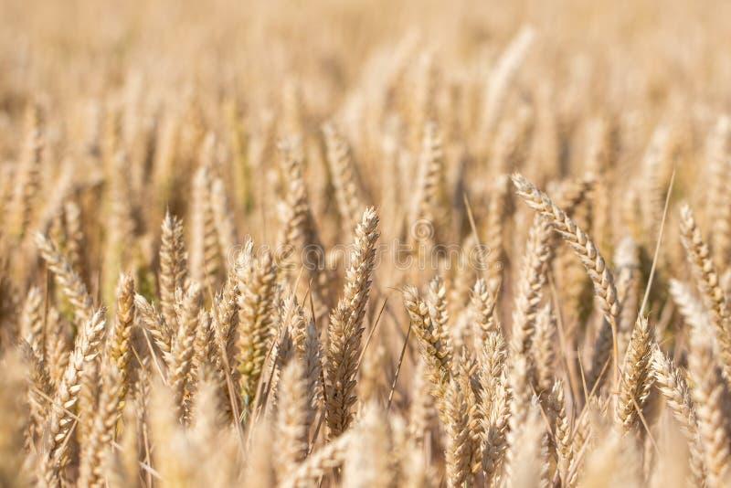 麦子庄稼 金黄麦子耳朵选择聚焦特写镜头  库存图片
