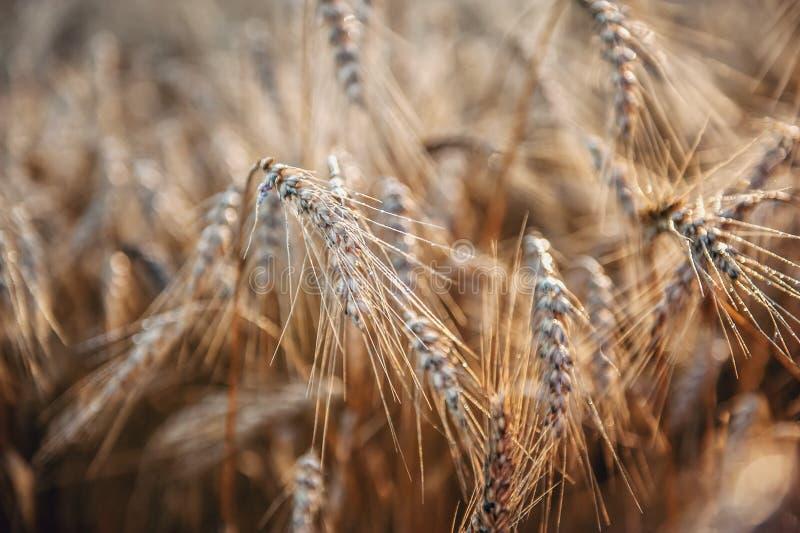 麦子成熟耳朵早晨降露特写镜头 背景 库存照片