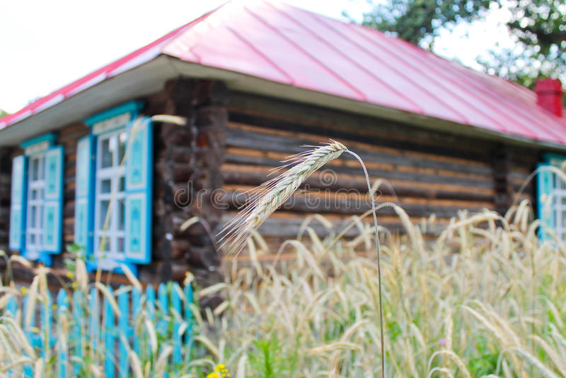 麦子收获的时期  库存照片