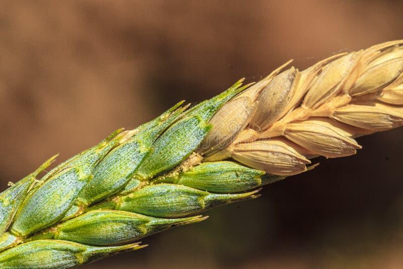 麦子由镰刀霉攻击了 库存照片