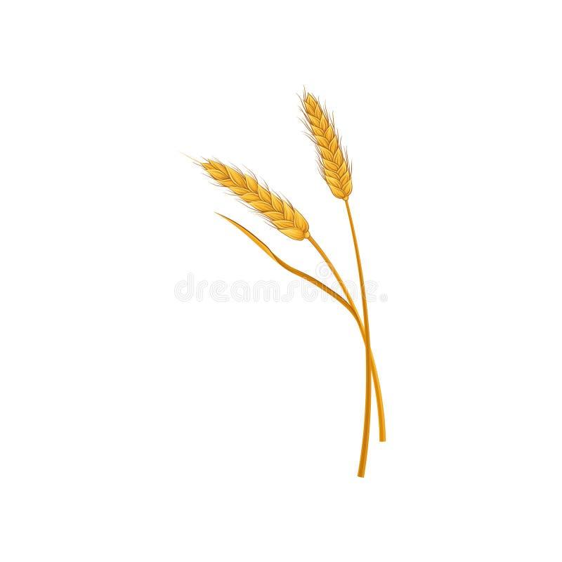 麦子的两个干燥小尖峰 五谷文化 谷物庄稼收获农业标志 有机产品的概念 向量例证