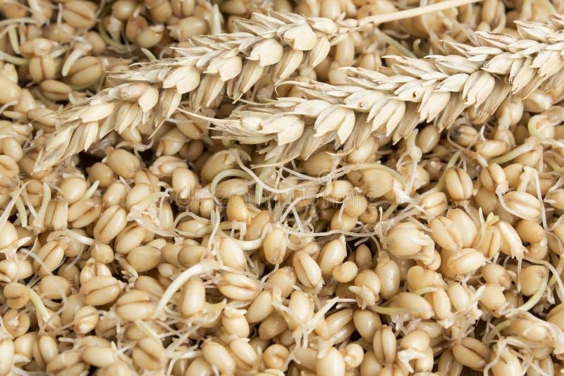 麦子的发芽的麦子和耳朵作为背景 免版税图库摄影