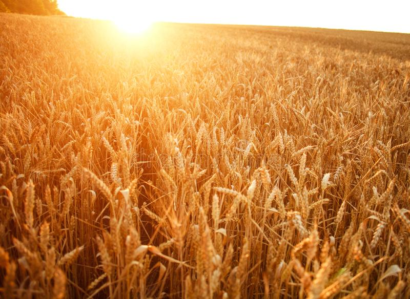 麦子的成熟耳朵在增长的领域的在黎明太阳光光芒  免版税库存照片