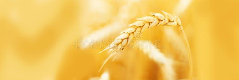 麦子的成熟耳朵在领域的在收获关闭期间 农业夏天风景 农村场面 复制空间 免版税库存照片