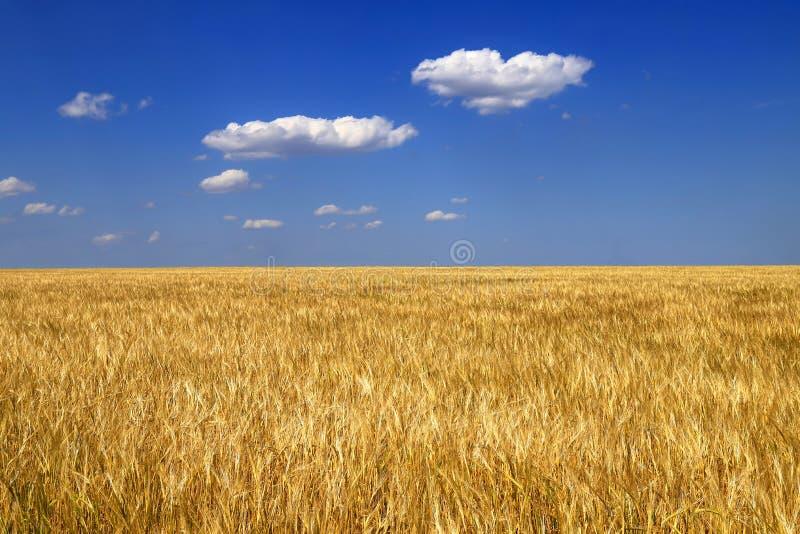 麦子的成熟金黄耳朵在领域的反对天空蔚蓝,背景 一个富有的收获的接近的自然想法在夏天, 免版税库存图片