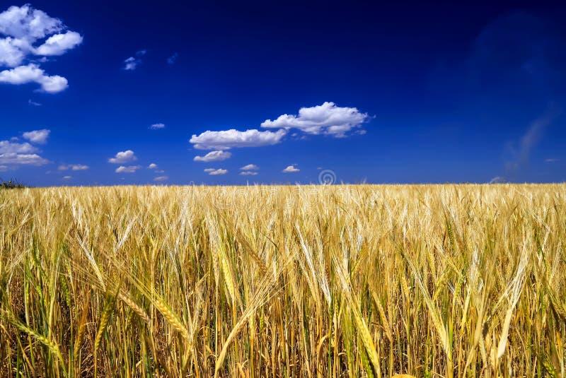 麦子的成熟,黄色耳朵在领域的反对蓝天 免版税库存图片