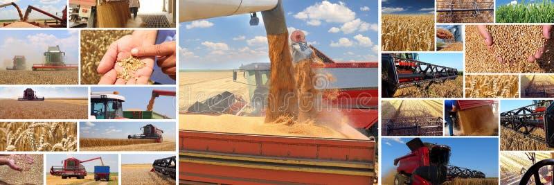 麦子的生产 库存图片