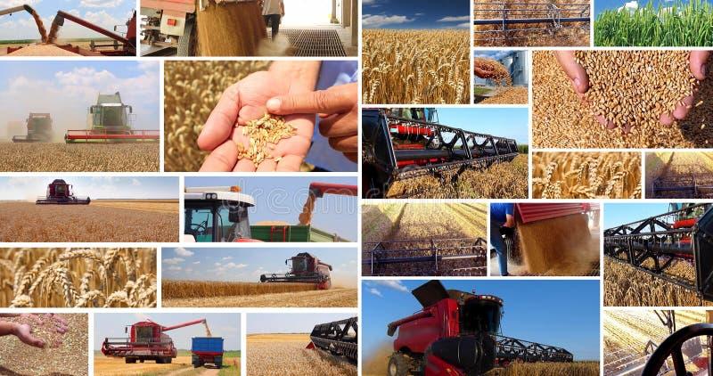 麦子的生产 免版税库存图片