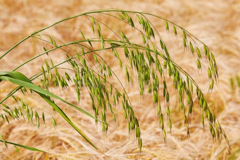 麦子的绿色燕麦耳朵 免版税库存图片