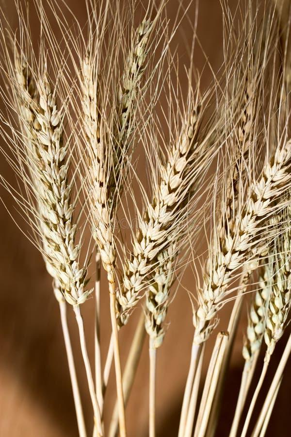 麦子的耳朵作为背景的 库存图片