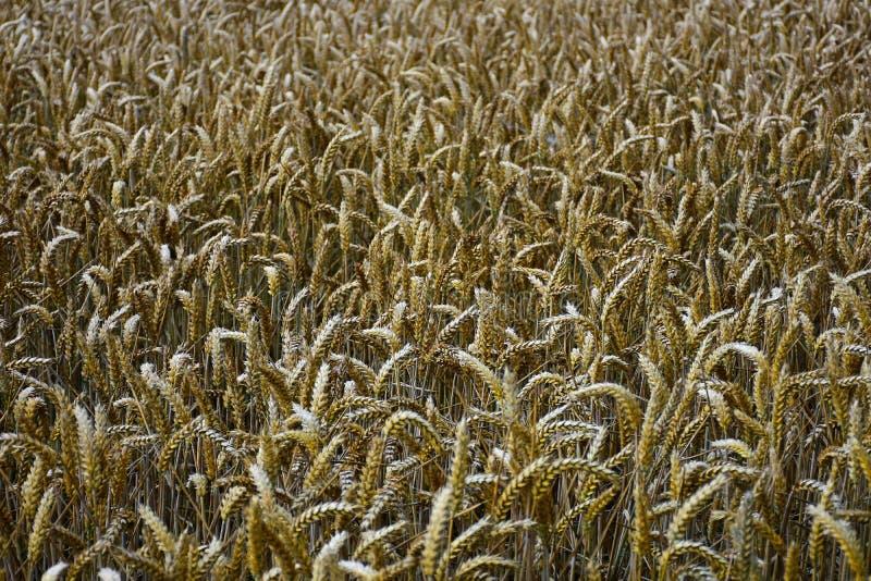 麦子的耳朵在领域的在收割期 库存图片