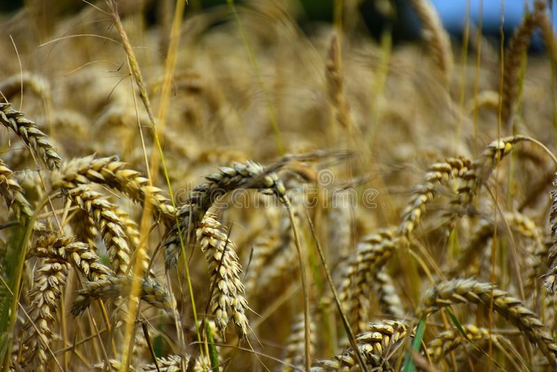 麦子的耳朵在领域的在收割期 免版税库存图片