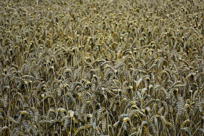 麦子的耳朵在麦田的在收割期 库存照片