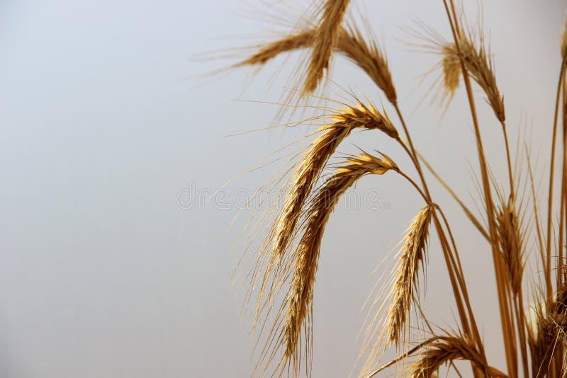 麦子的许多金黄耳朵在雾在黎明,特写镜头的 免版税库存图片