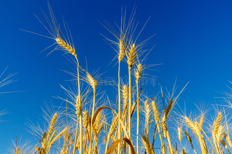 麦子的金耳朵 库存图片