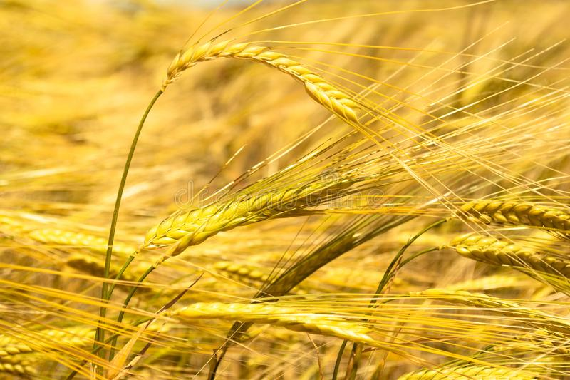 麦子的金黄耳朵在领域的 库存照片