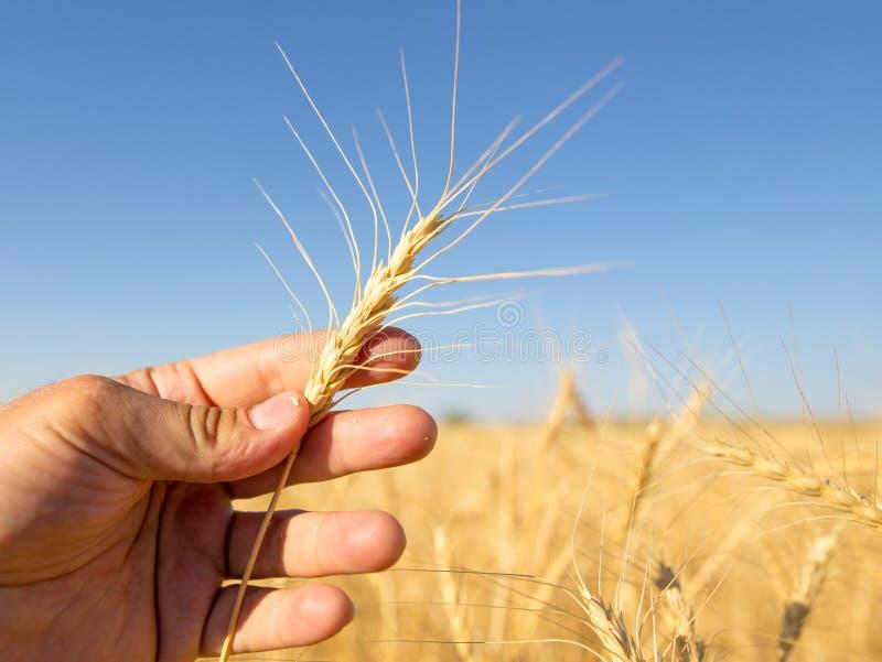 麦子的黄色耳朵在手中本质上 免版税库存图片