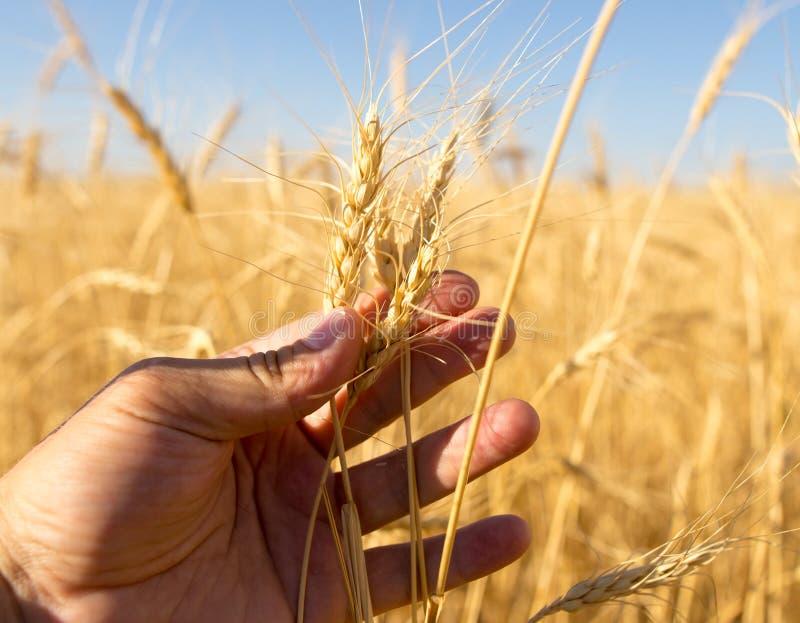 麦子的黄色耳朵在手中本质上 库存图片