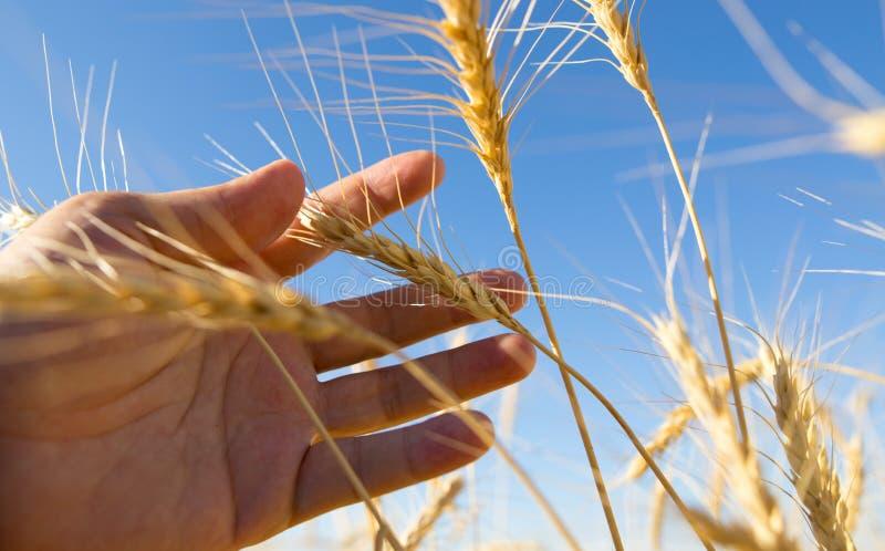 麦子的黄色耳朵在手中本质上 库存照片