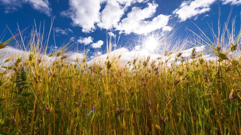麦子米种植园领域 库存图片