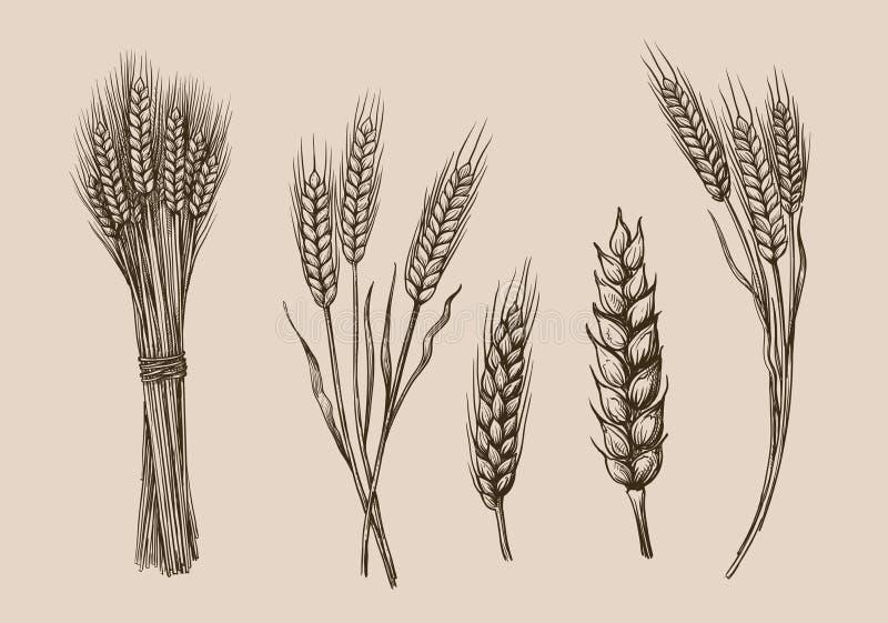 麦子耳朵剪影 向量例证
