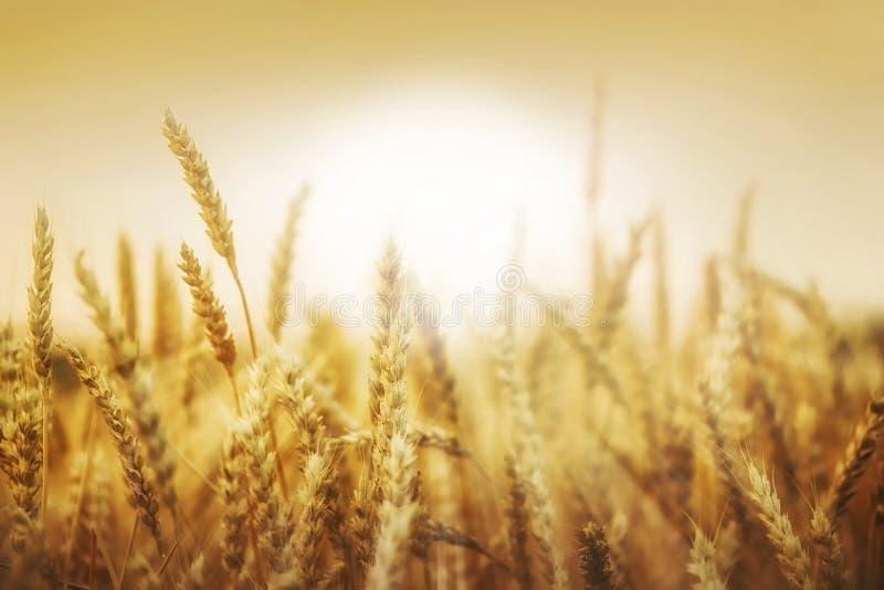 麦子耳朵和太阳 免版税库存照片