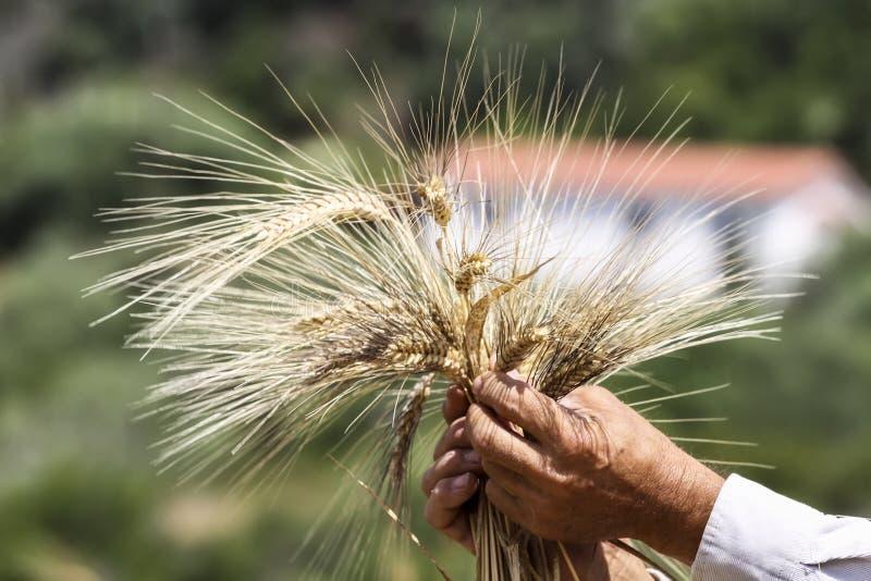 麦子耳朵在农夫手上在领域背景关闭  免版税库存图片