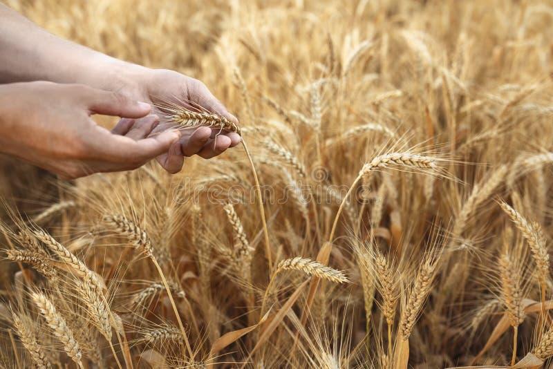麦子耳朵在农夫手上在领域背景关闭  免版税图库摄影