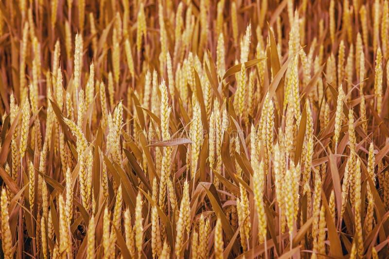 麦子耳朵纹理 在c的成熟性的时期的麦田 图库摄影
