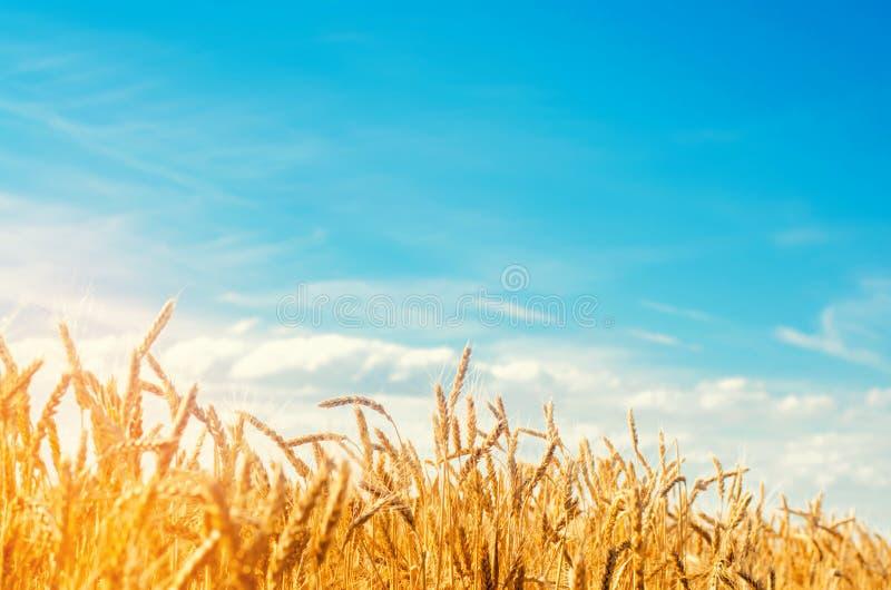 麦子钉和蓝天特写镜头 金黄的域 美丽的景色 收获和生育力的标志 收获,面包 免版税库存图片