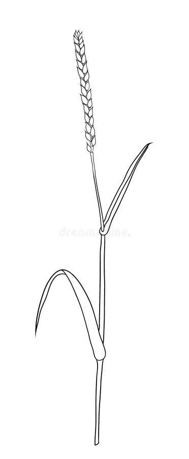 麦子面包耳朵谷物庄稼剪影 库存例证