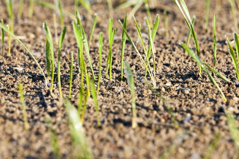 麦子,霜茎  库存图片