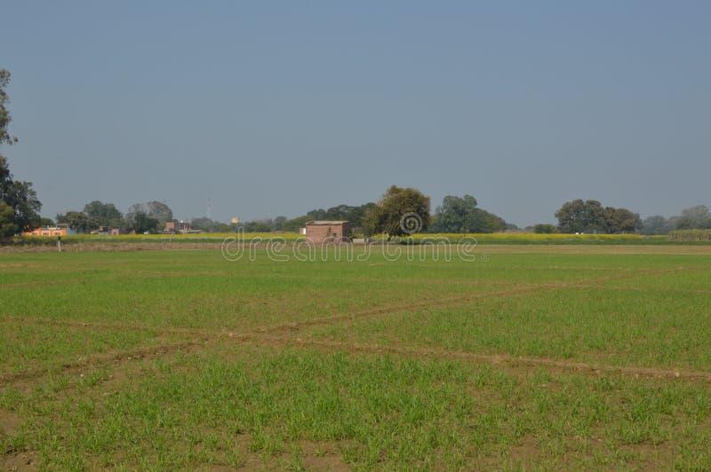 麦子绿色全景庄稼  免版税库存照片