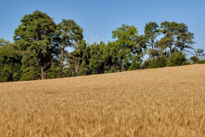 麦田和大结构树 库存图片